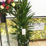 お祝い用観葉植物